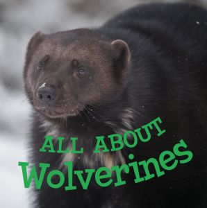 all about wolverines inhabit education books